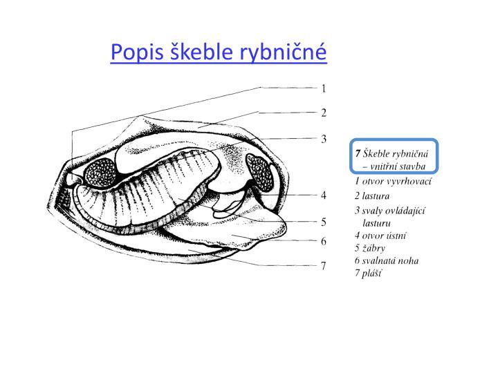 Popis škeble rybničné