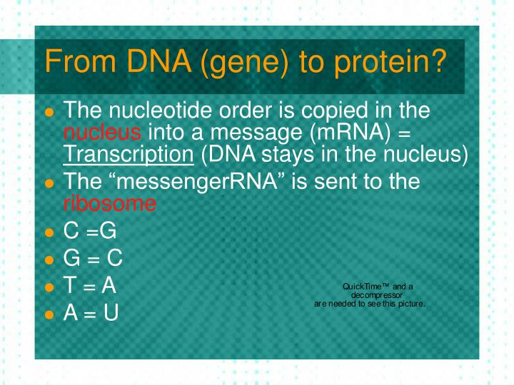 From DNA (gene) to protein?