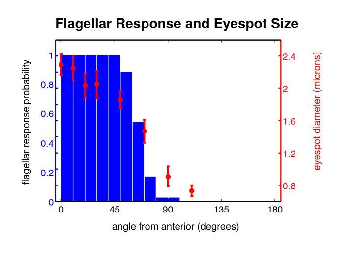 Flagellar Response and Eyespot Size