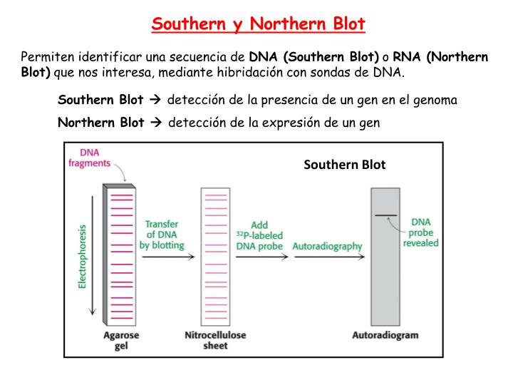 Southern y Northern Blot