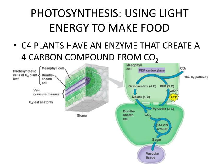 Chapter  Photosynthesis Using Light To Make Food