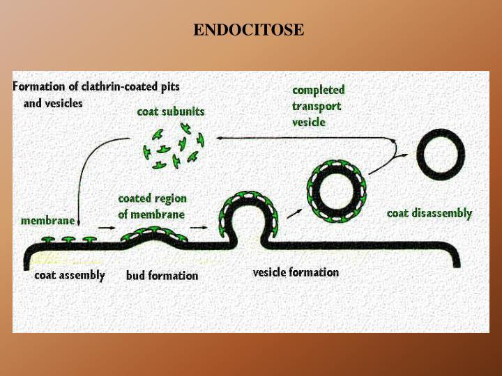 ENDOCITOSE
