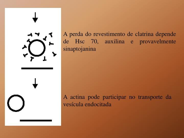 A perda do revestimento de clatrina depende de Hsc 70, auxilina e provavelmente sinaptojanina