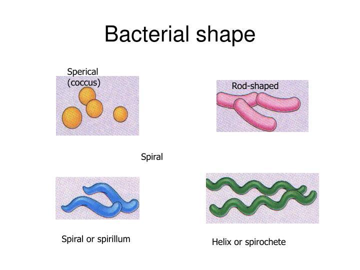Bacterial shape