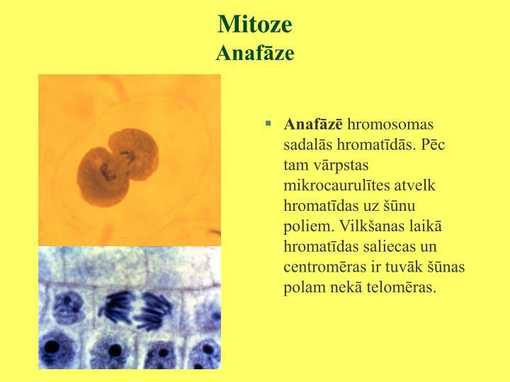 Mitoze