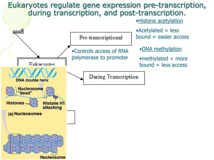 Eukaryotes regulate gene expression pre-transcription, during transcription, and post-transcription.