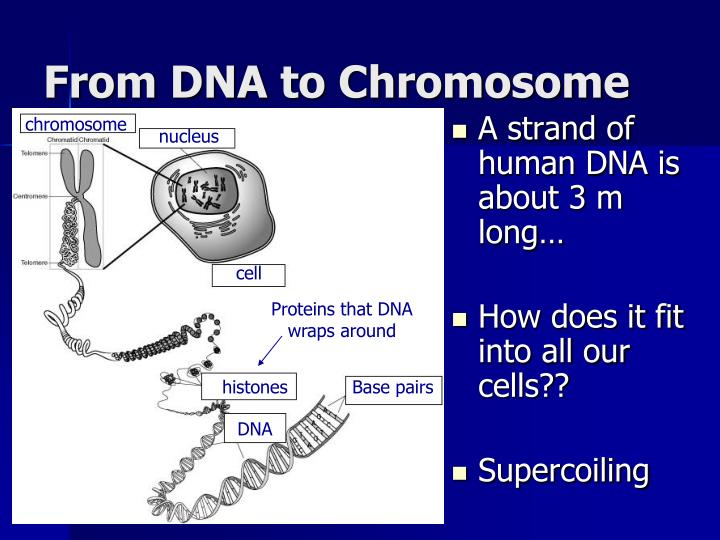 From DNA to Chromosome