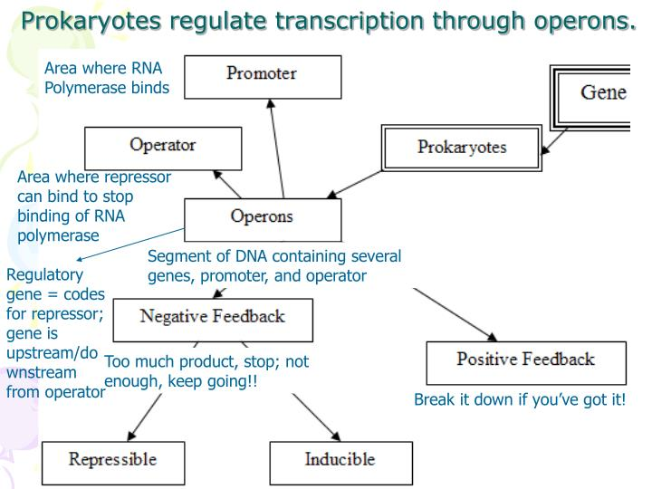 Prokaryotes regulate transcription through operons.