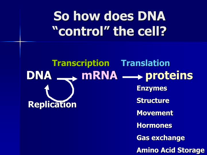 So how does DNA control the cell?
