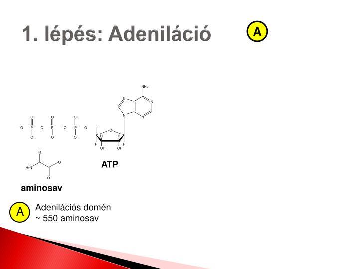 1. lépés: Adeniláció