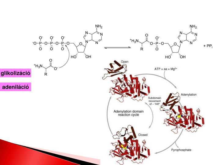 glikolizáció