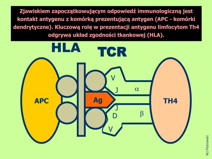 Zjawiskiem zapocztkowujcym odpowied immunologiczn jest kontakt antygenu z komrk prezentujc antygen (APC - komrki dendrytyczne). Kluczow rol w prezentacji antygenu limfocytom Th4 odgrywa ukad zgodnoci tkankowej (HLA).
