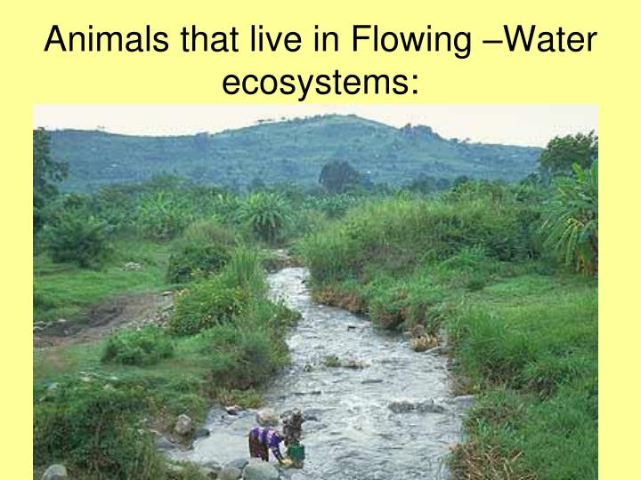 Animals that live in Flowing –Water ecosystems: