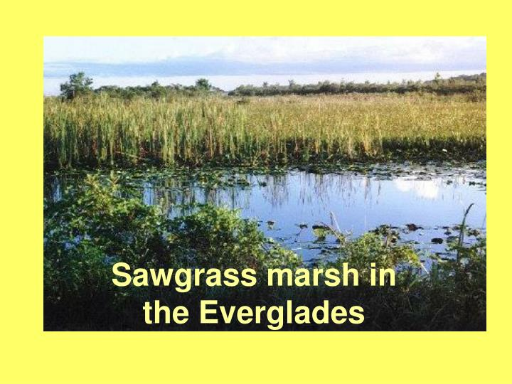 Sawgrass marsh in the Everglades