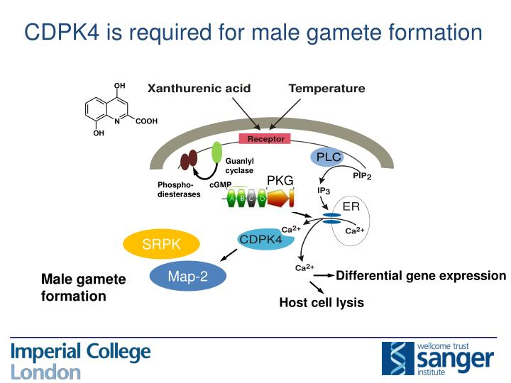 CDPK4 is required for male gamete formation