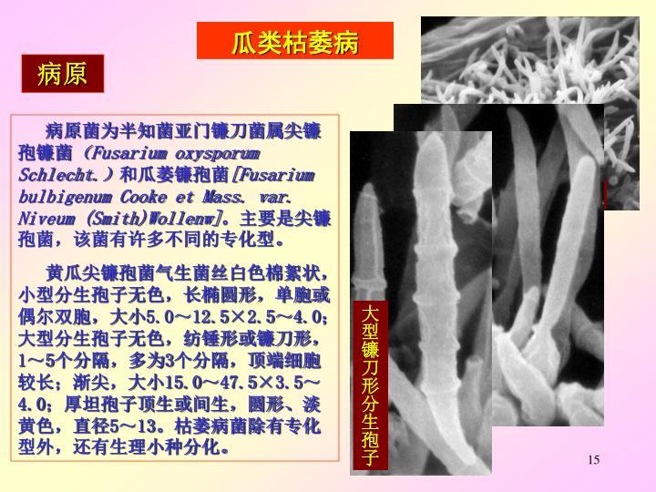 大型分生孢子着生在分生孢子梗上
