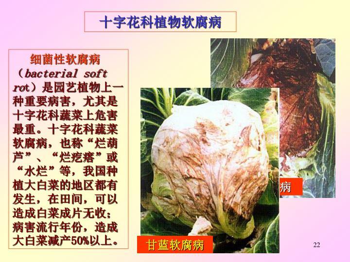 大白菜软腐病