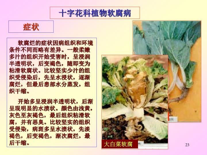 小白菜软腐