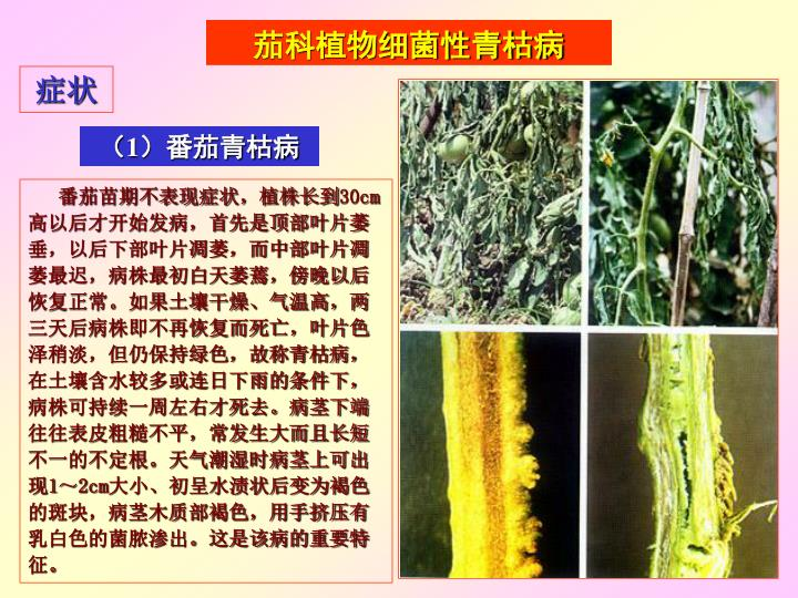 茄科植物细菌性青枯病