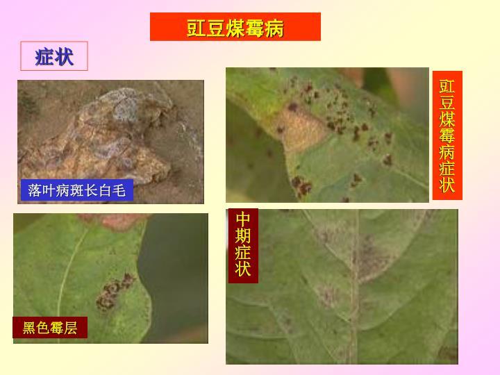 豇豆煤霉病症状