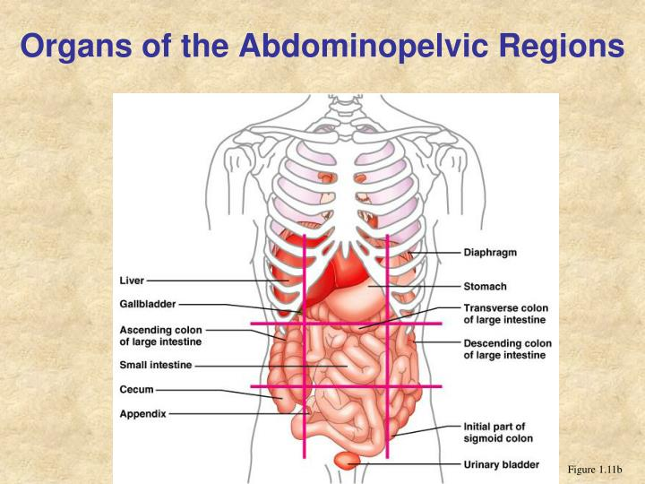 Organs of the Abdominopelvic Regions