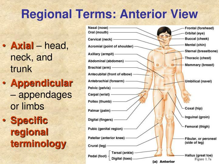 Regional Terms: Anterior View