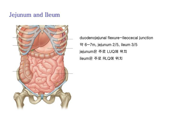 Jejunum and Ileum