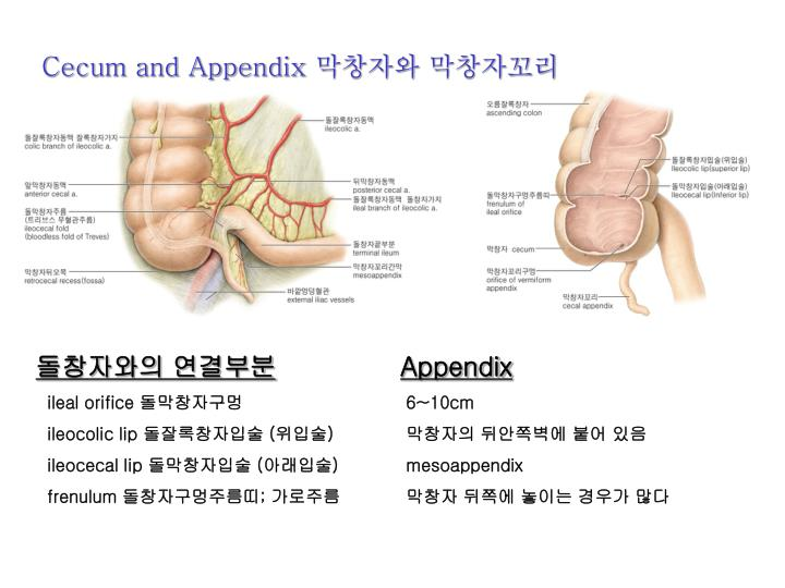 Cecum and Appendix
