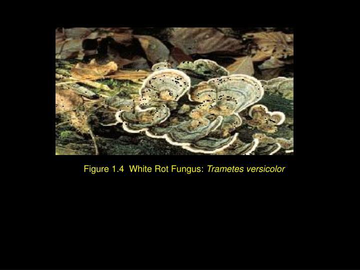 Figure 1.4  White Rot Fungus: