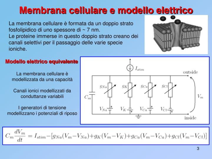 La membrana cellulare è formata da un doppio strato fosfolipidico di uno spessore di ~ 7 nm.