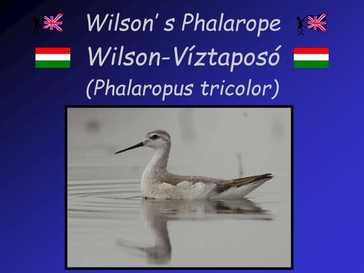Wilson' s Phalarope
