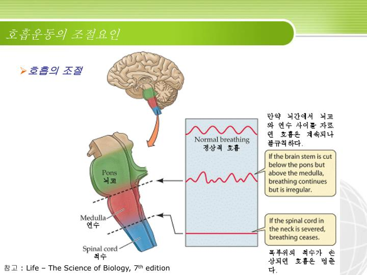 호흡운동의 조절요인