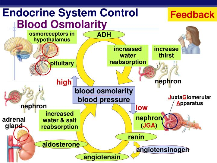 Blood Osmolarity