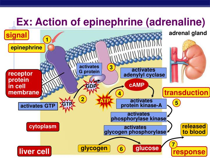 Ex: Action of epinephrine (adrenaline)