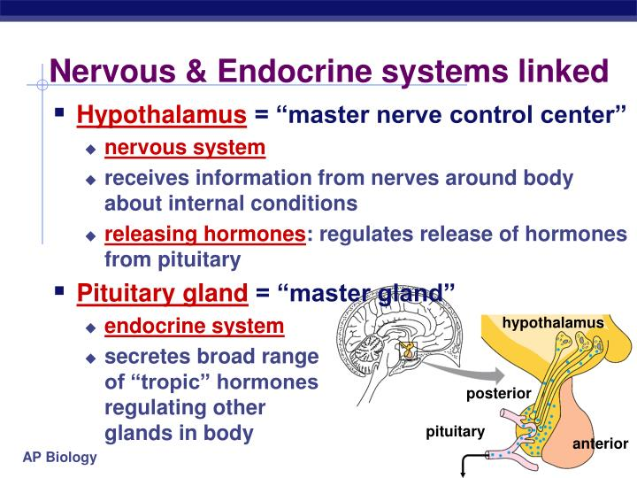 Nervous & Endocrine systems linked