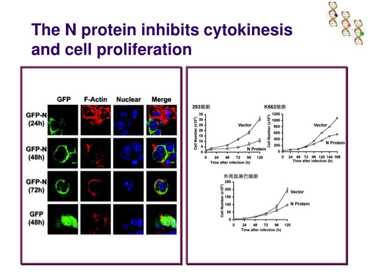 The N protein inhibits cytokinesis