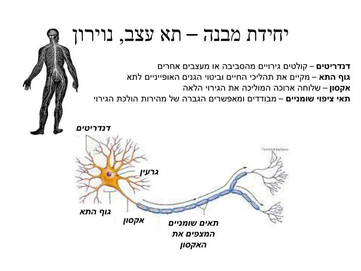 יחידת מבנה – תא עצב, נוירון