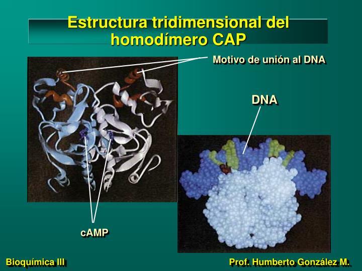 Estructura tridimensional del homodímero CAP