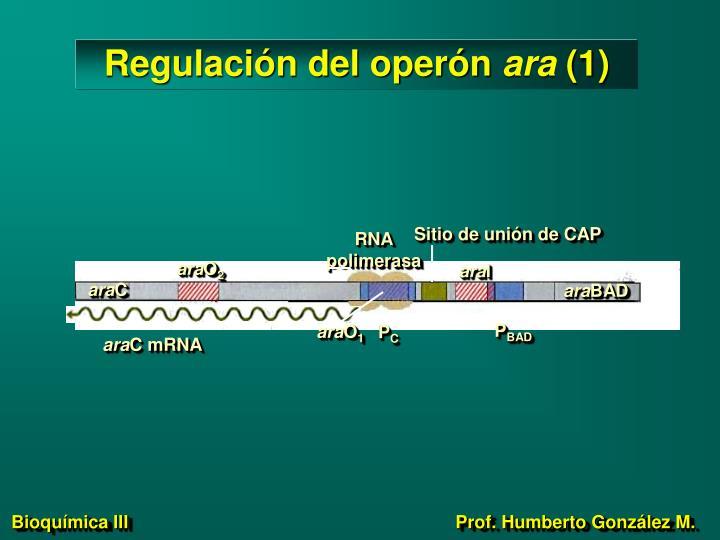 Regulación del operón
