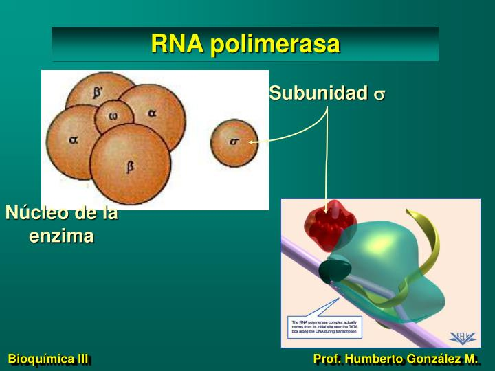 RNA polimerasa
