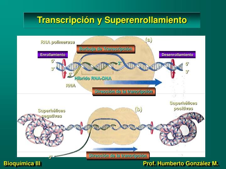 Transcripción y Superenrollamiento