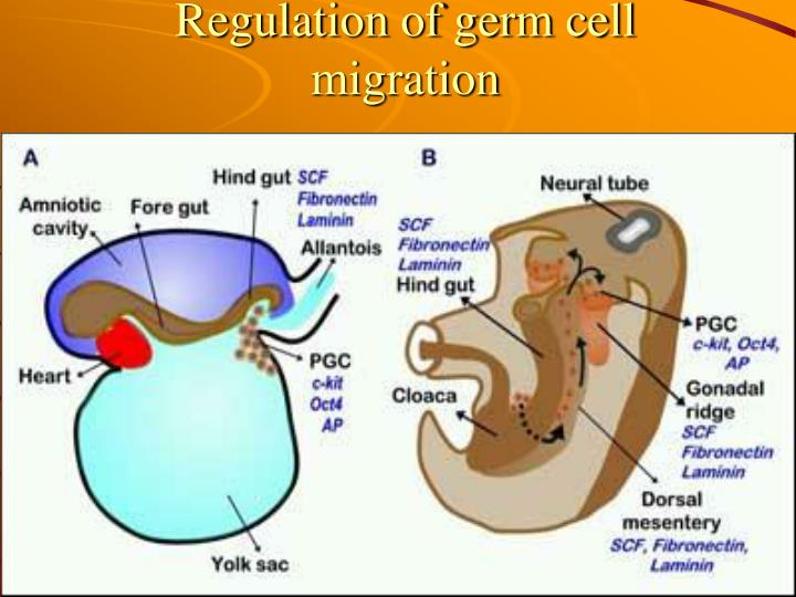 Regulation of germ cell migration