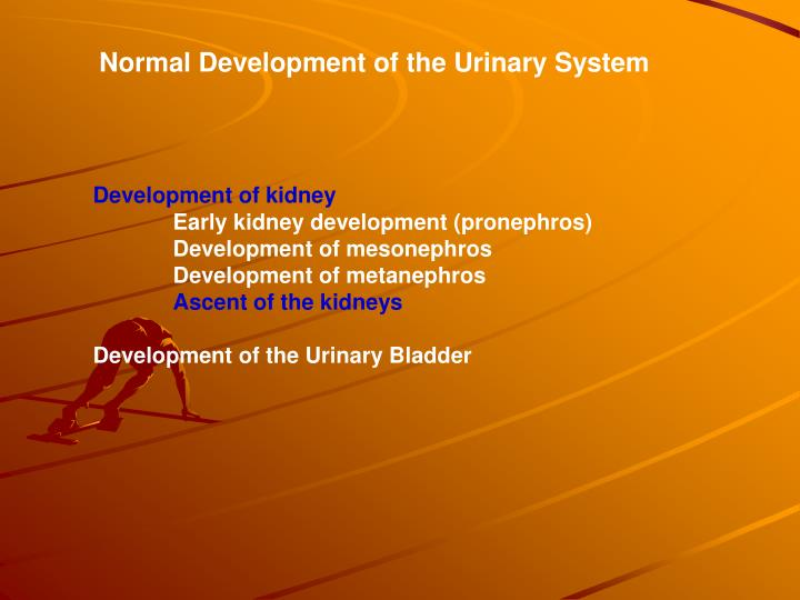 Normal Development of the Urinary System
