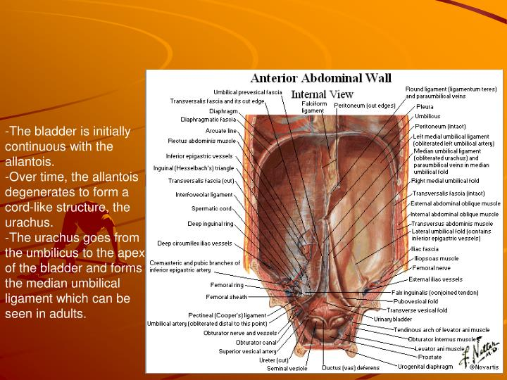 The bladder is initially continuous with the allantois.