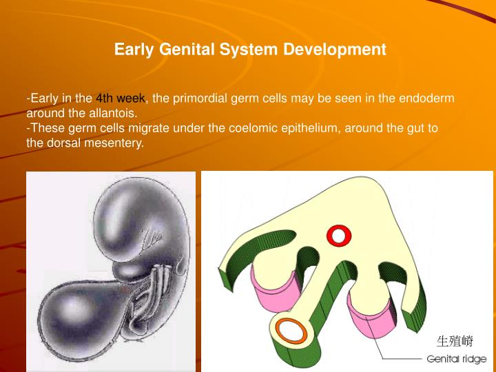 Early Genital System Development
