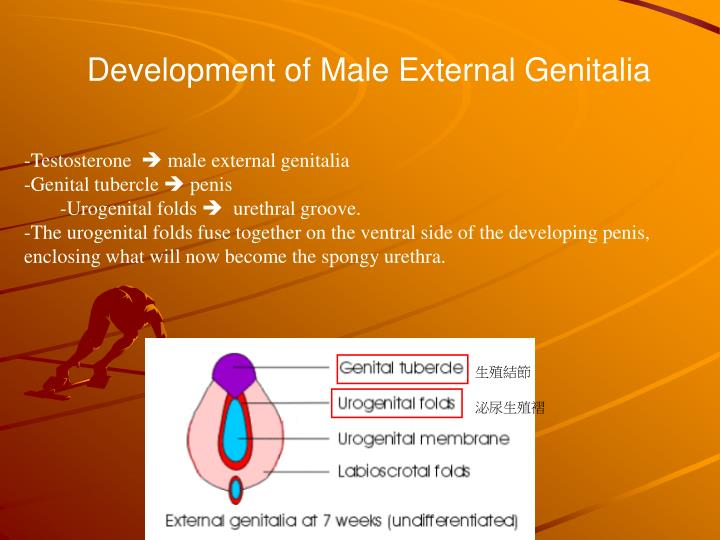 Development of Male External Genitalia