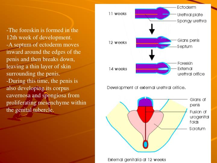 The foreskin is formed in the 12th week of development.