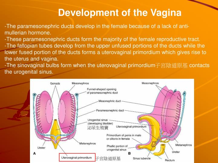 Development of the Vagina