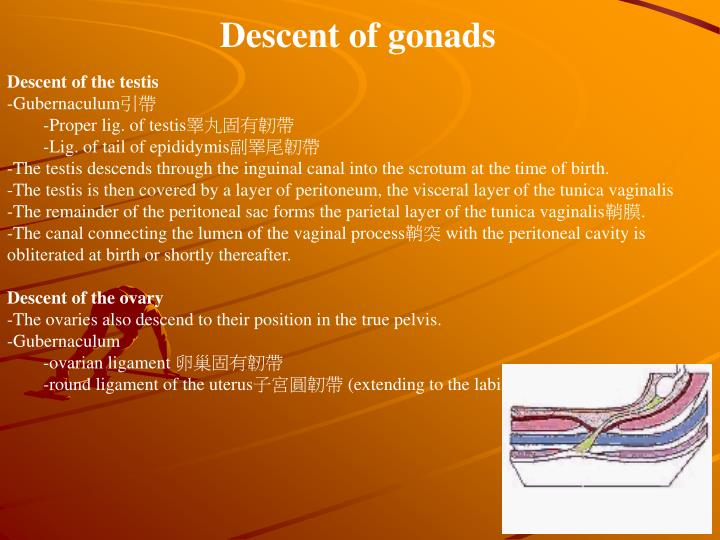 Descent of gonads