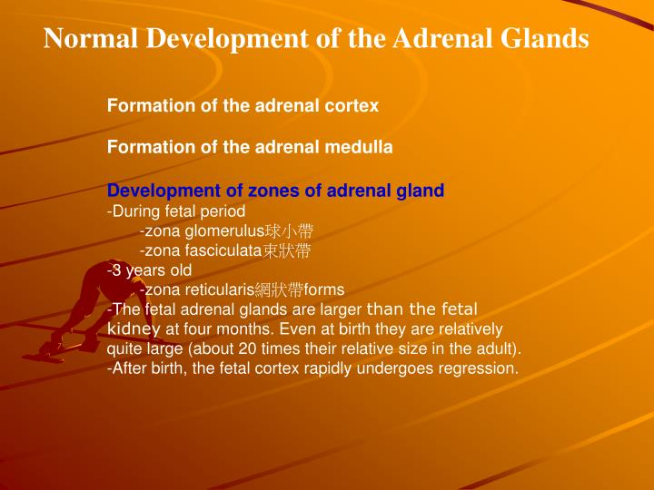 Normal Development of the Adrenal Glands